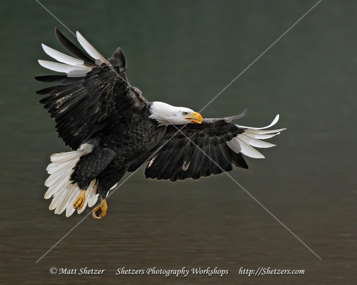 Leucistic Bald Eagle in Flight