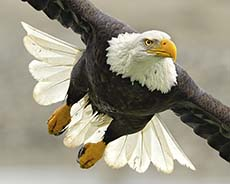 Bald Eagle Photo Workshops