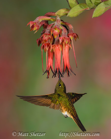 Hummingbird Photography Workshop - Buff-tailed coronet hummingbird drinks from a red flower in flight.