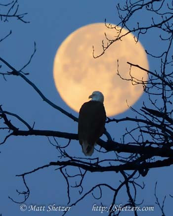 Bald Eagle Photography Workshop - Eagle enjoying the full moon