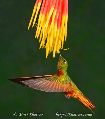 Hummingbird Photography Workshop - The beautiful coloring of the Chestnut-Bellied Hummingbird.