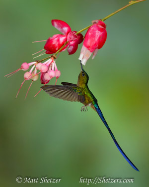 Hummingbird Photography Workshop - Violet-tailed sylph.