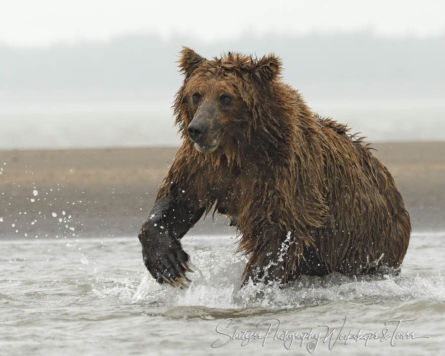 A Running Grizzly Bear Picture