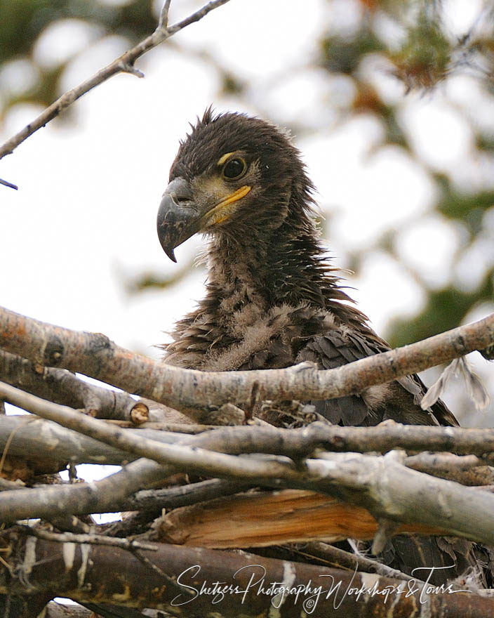 Baby bald eagle sits in nest with branches