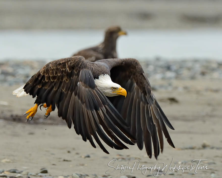 Bald Eagle flapping wings over a river