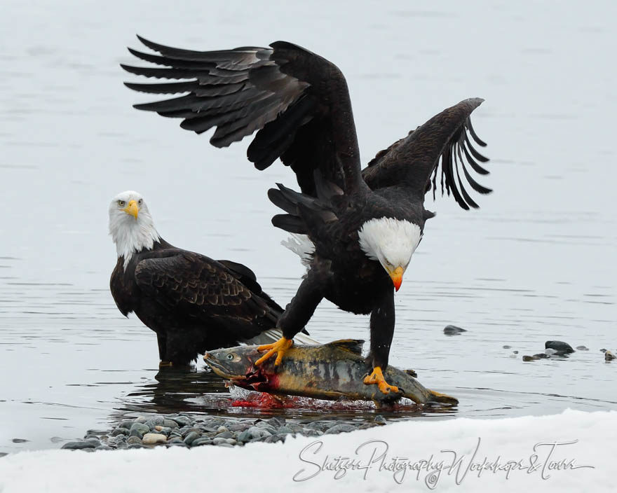 Bald Eagle pulling fish out of water