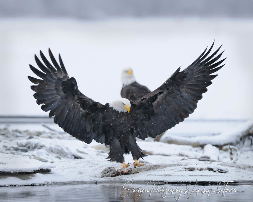 Bald Eagle wings spread during landing
