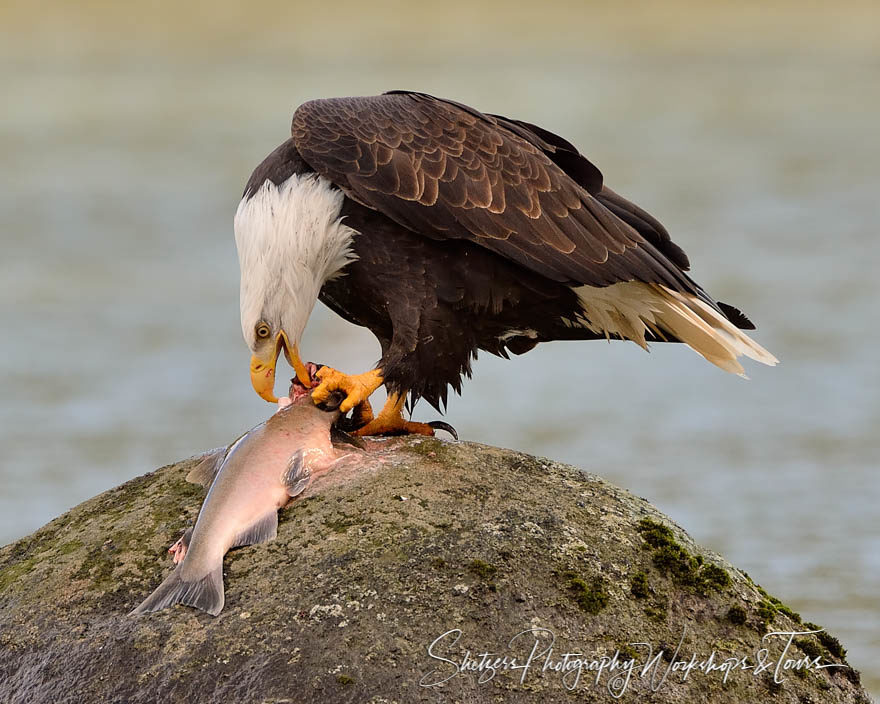 Bald Eagle with Salmon catch