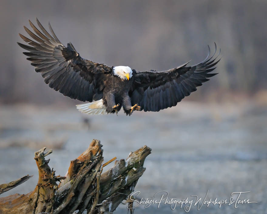 Bald Eagle with wings spread lands on tree