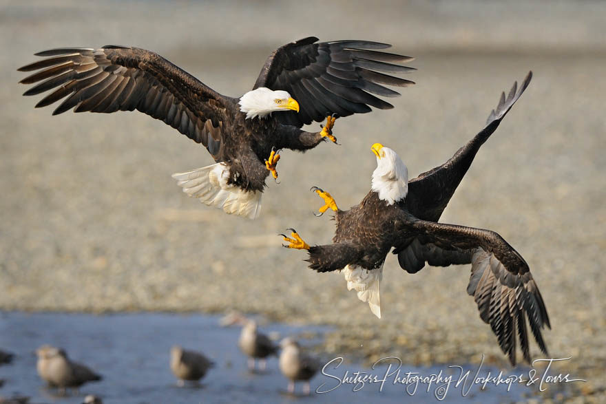 Bald Eagles Attack with Talons