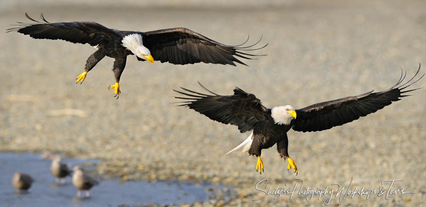 Bald Eagles Chase