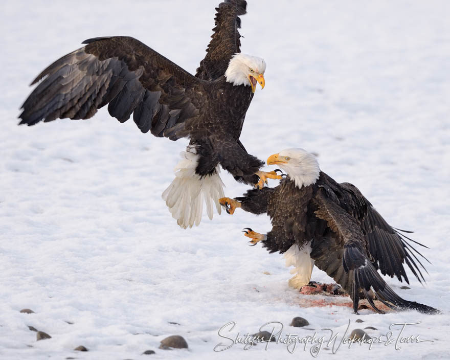Bald Eagles attack with talons on snow