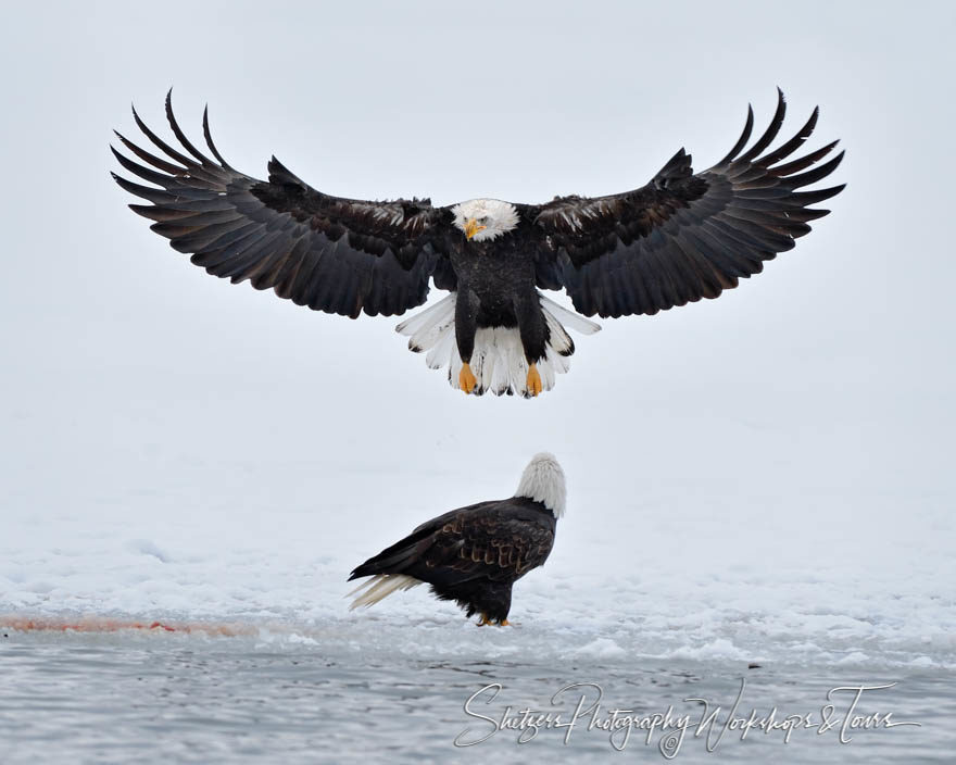 Bald Eagles in Snow landing with wings spread
