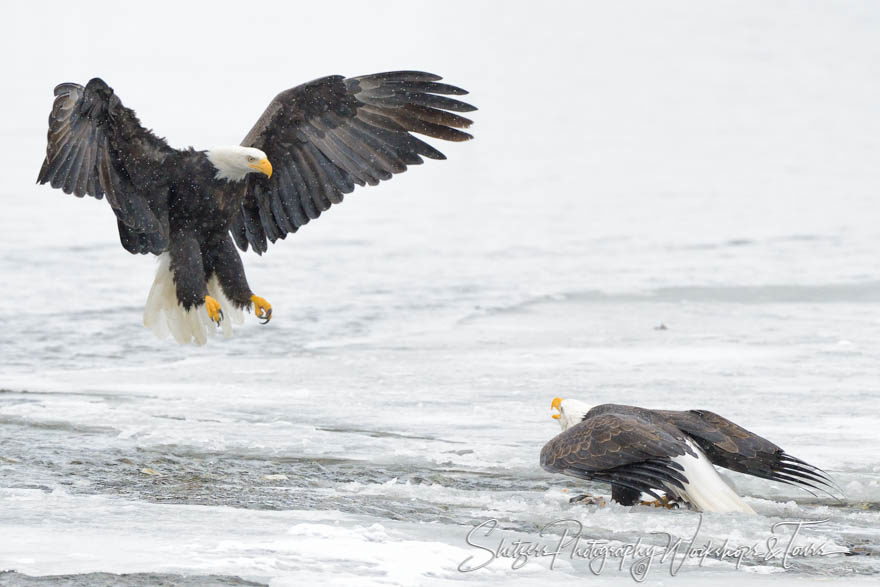 Bald eagle face off over salmon