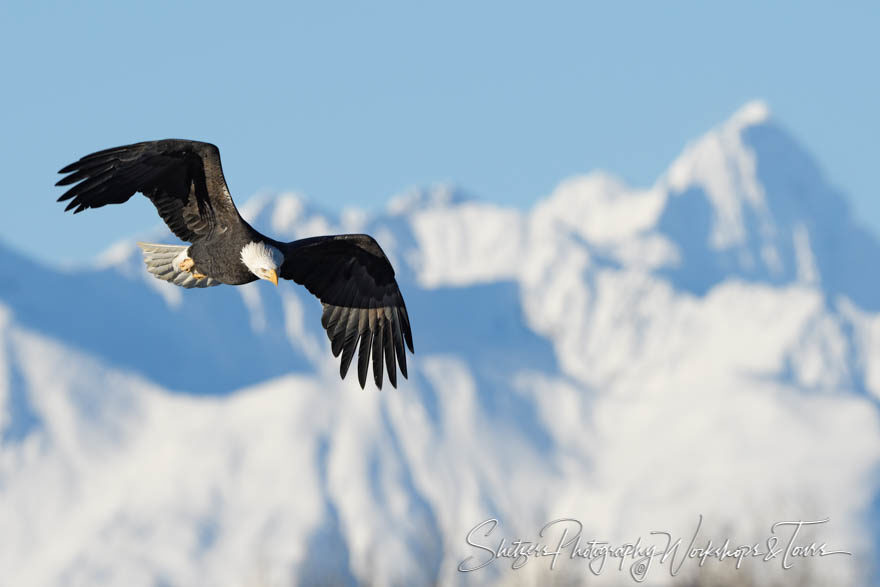 Bald eagle flies in front of Alaskan mountains