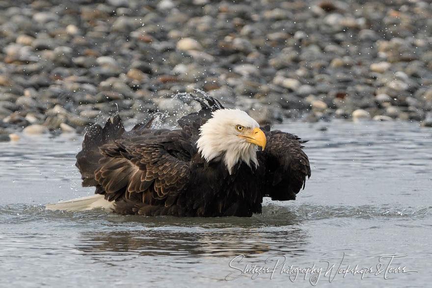 Bald eagle taking a bath