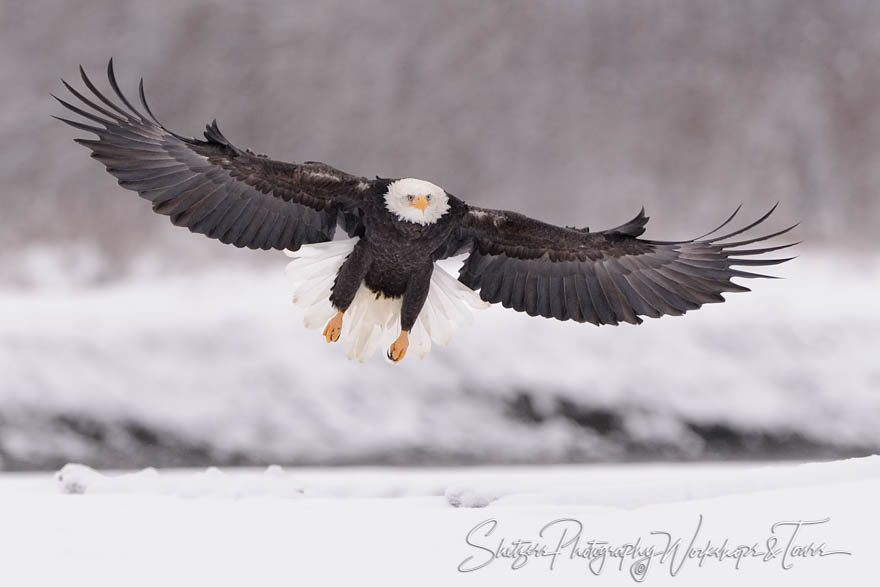 Bald eagle with wings out and snowy background