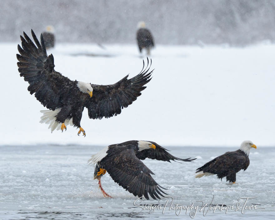 Bald eagles scoop salmon from the Chilkat River