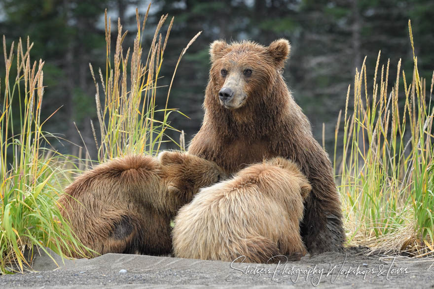 Bear watching at Lake Clark – Grizzly bear nurses her two cubs