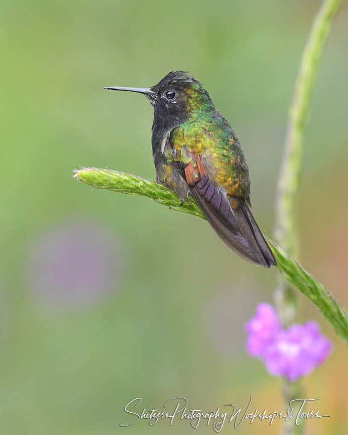 Bird photography with black-bellied hummingbird perched