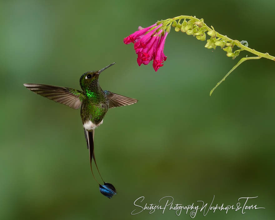 Booted racket-tail hummingbird displaying split tail