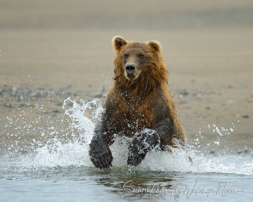 Brown Bear Chasing a Salmon