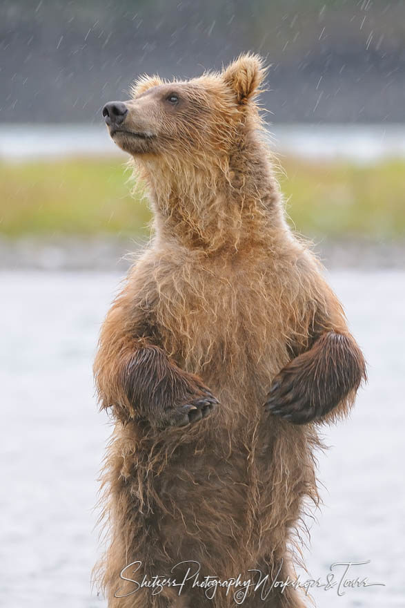 Brown Bear Stands Upright in Alaska