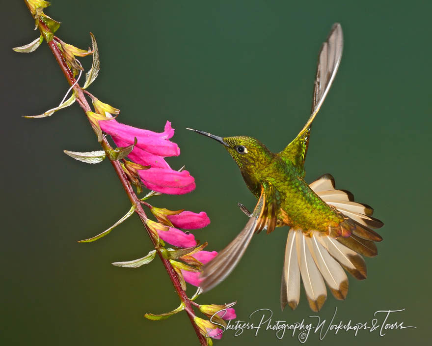 Buff-tailed Coronet Hummingbird inflight with purple flowers