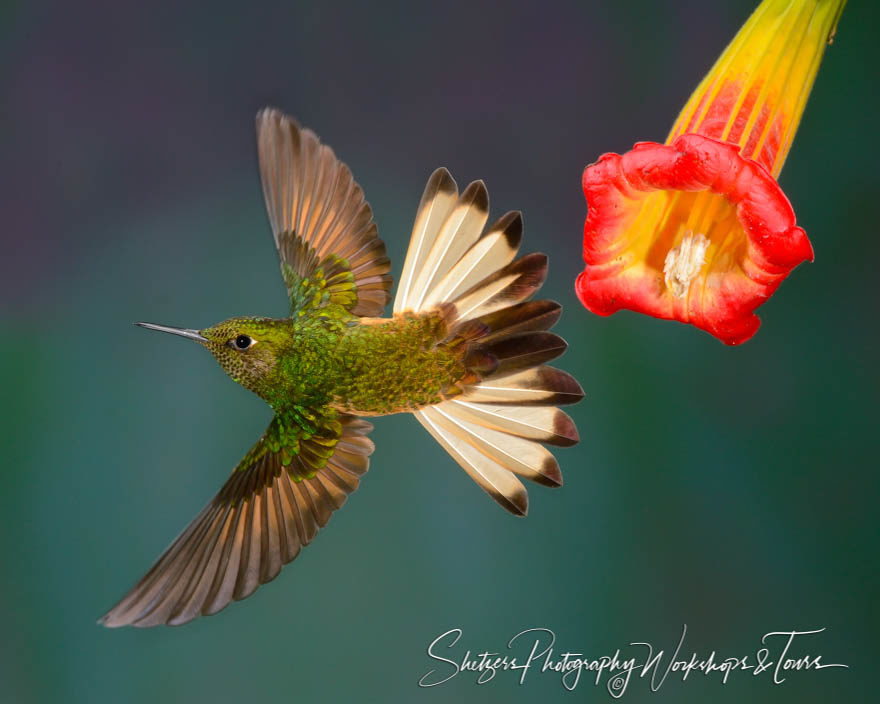 Buff-tailed Coronet Hummingbird with tail flared