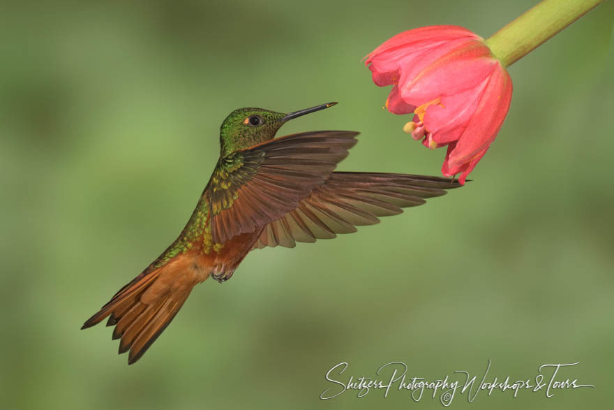 Chestnut-breasted coronet in flight with beautiful flower