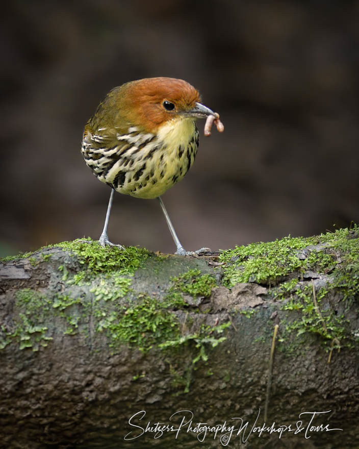 Chestnut-crowned Antpitta with a worm