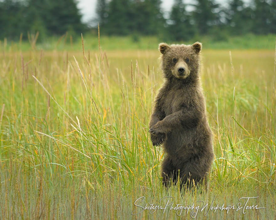 Cute Bear Cub Standing Upright