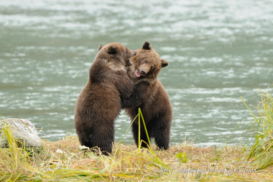 Cute Grizzly Bear Cubs playing and learning to fight