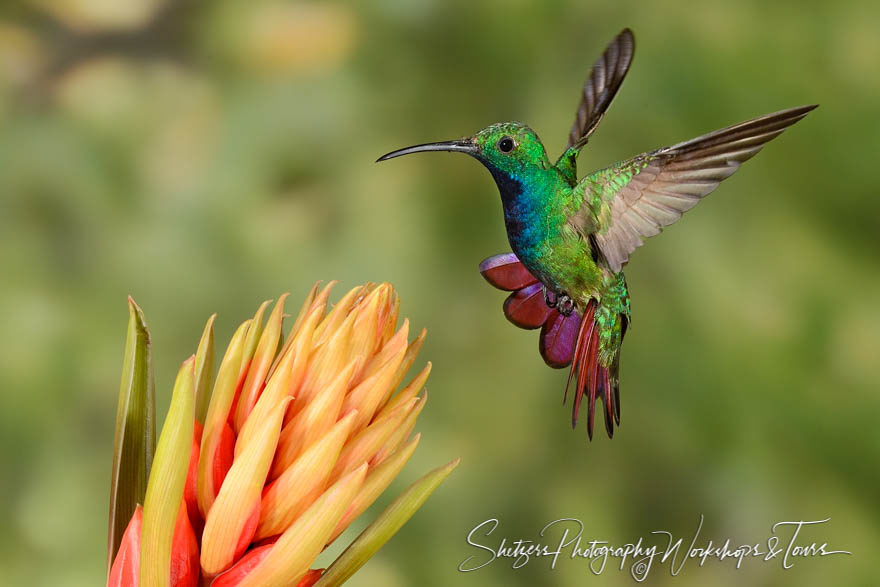 Green-breasted mango hummingbird in flight