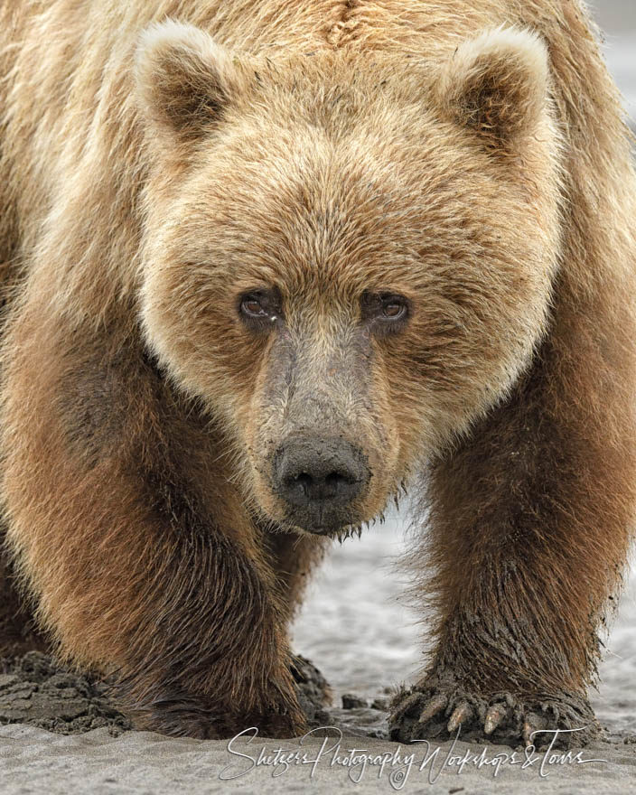 Grizzly Bear Face close-up