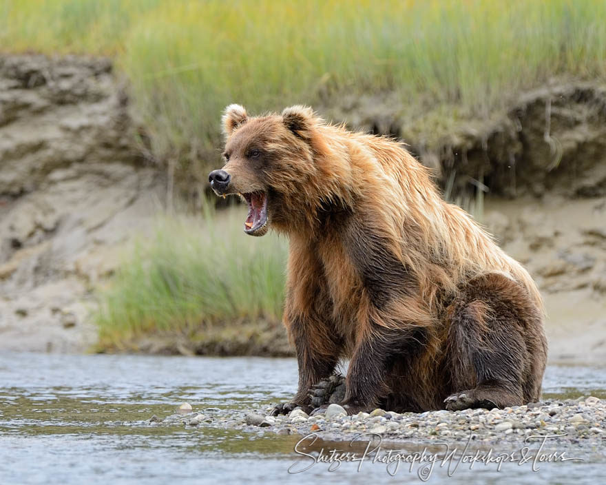 Grizzly Bear yawns whlie fishing