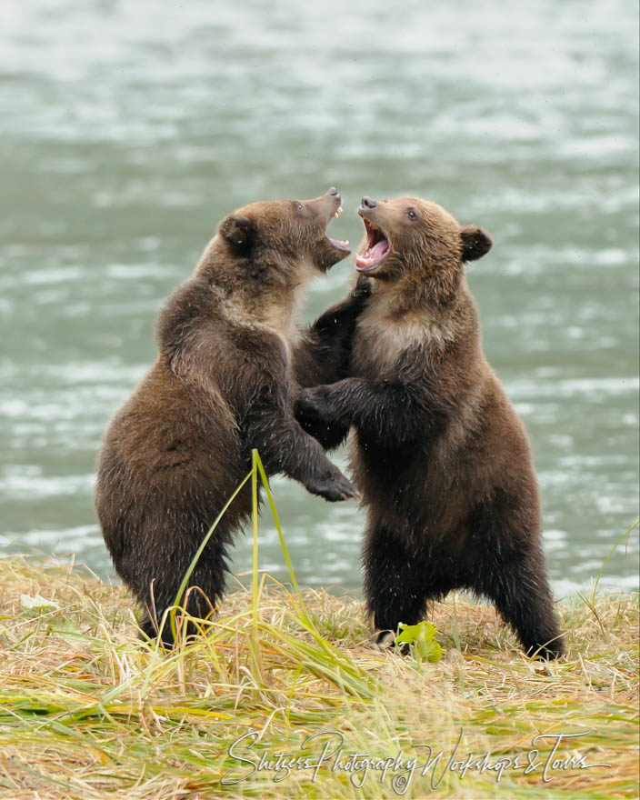 Grizzly Bears Attack each other in play