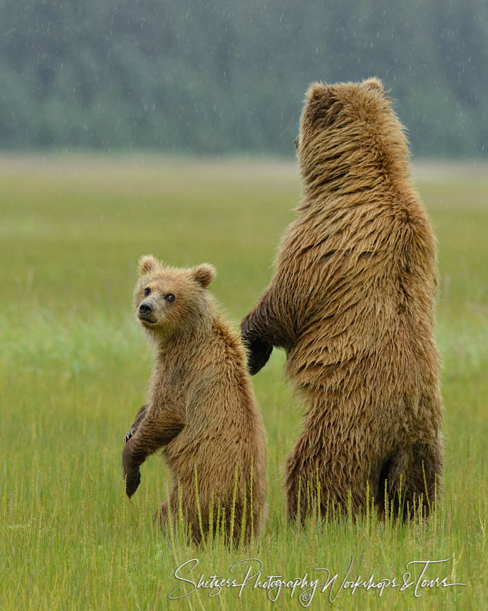 Grizzly Bears Stand and Look around
