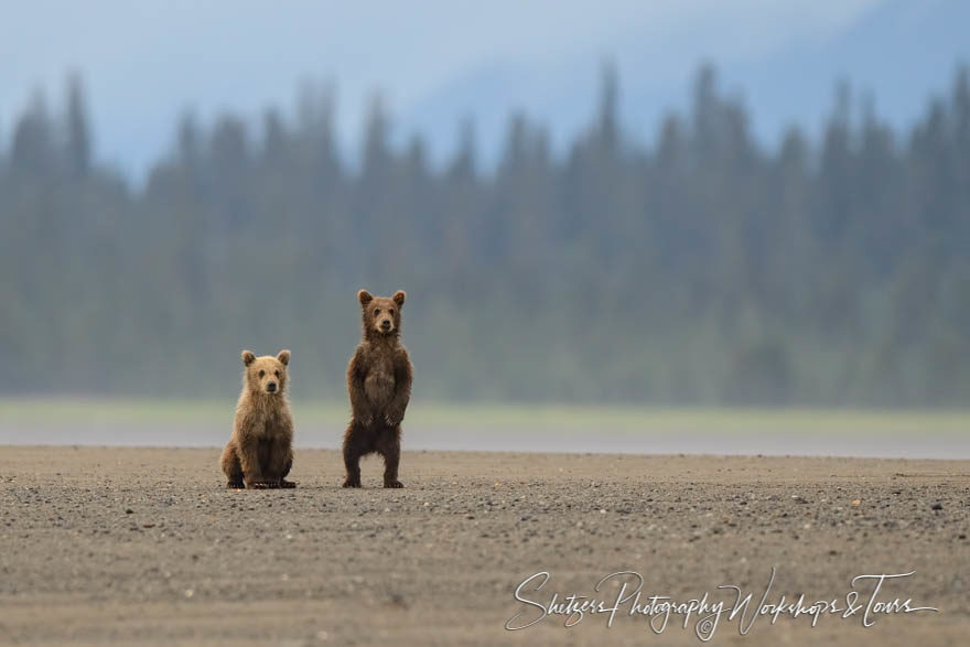Grizzly cubs watch the photographers on the beach