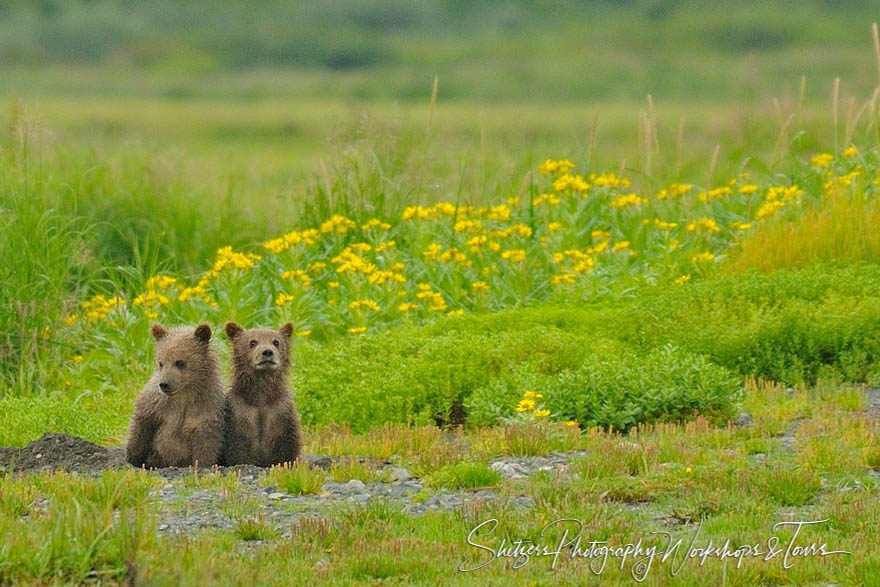 Tiny bear cubs sit in green field waiting for mother
