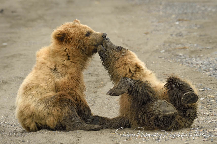 Two Cute Bear Cub Siblings