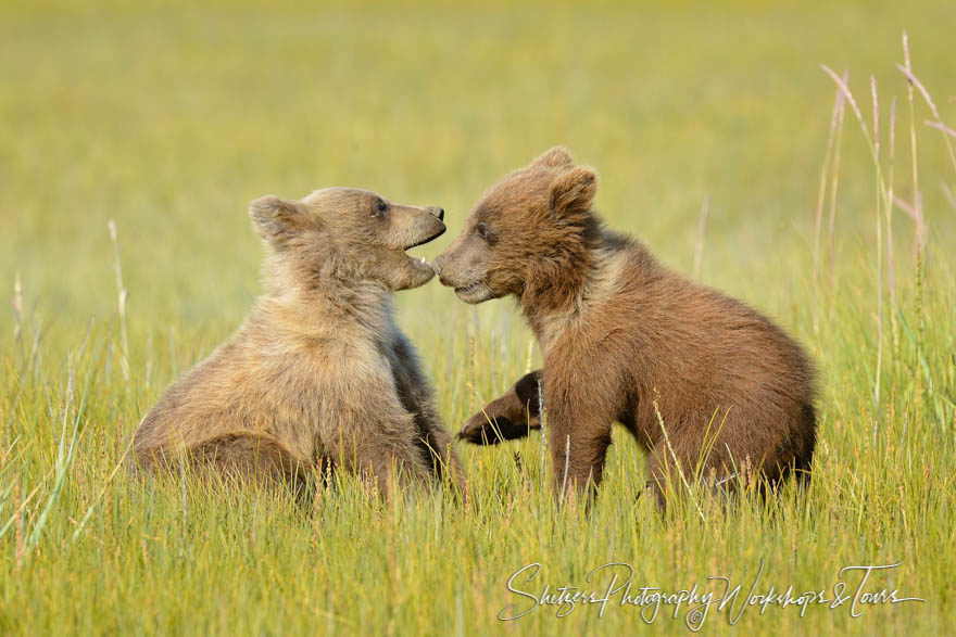 Two small brown bear cubs play together in the sedge