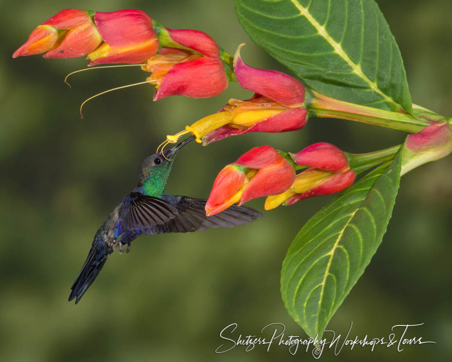 Violet-crowned woodnymph hummingbird in Costa Rica