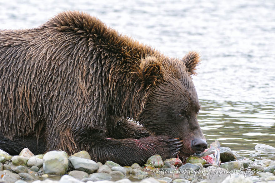 Wet grizzly bear feeding on salmon