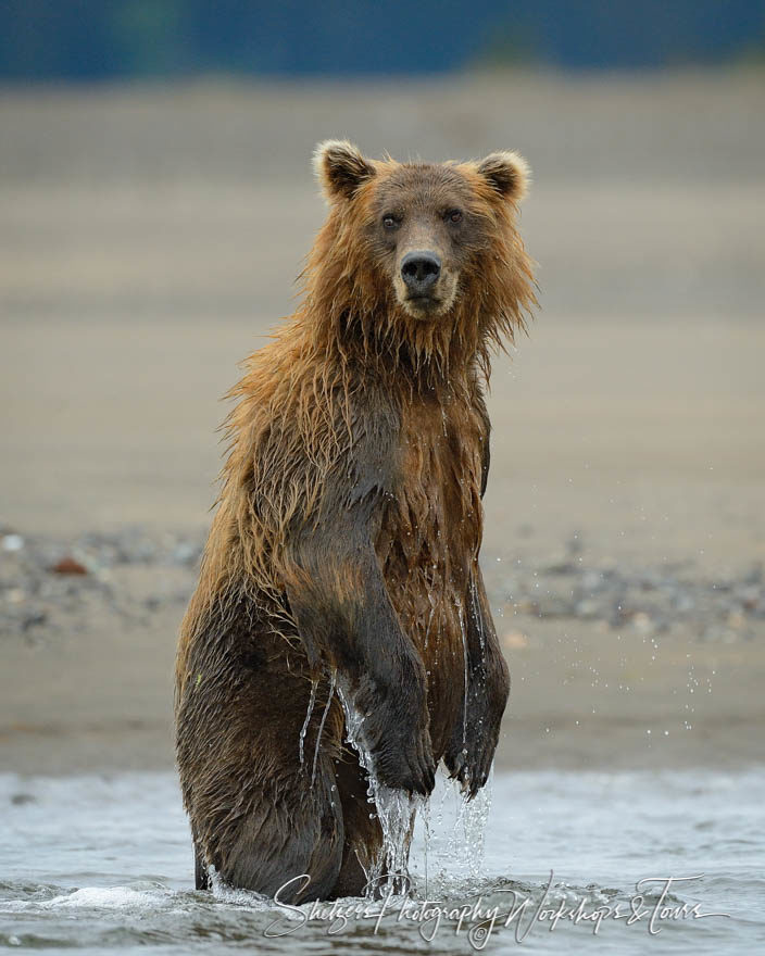 Wet grizzly bear stands in water