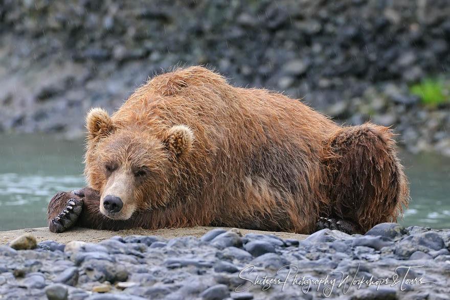 Wet silvertip bear sleeping in front of river