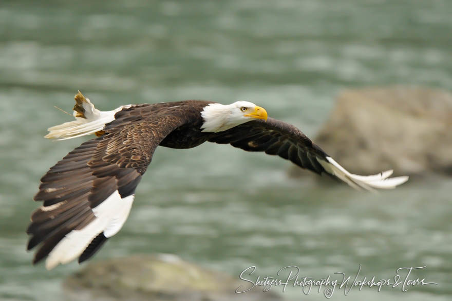 White Tips – Bald Eagle with Leucism