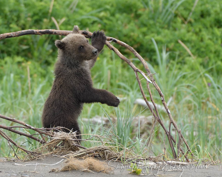 Young cub plays with branch