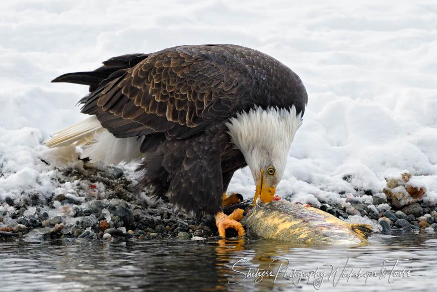Eagle Eating Fresh Salmon Along the River