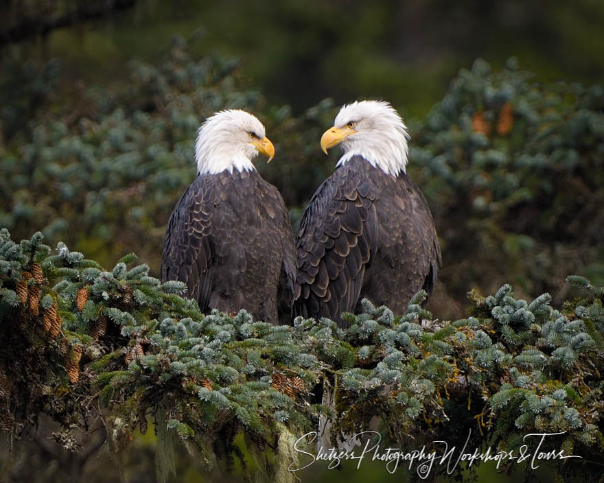 Bald Eagle Mated Pair in Evergreen Trees